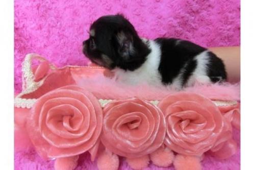 チワワ(ロング)の子犬(ID:1268411025)の2枚目の写真/更新日:2018-07-31