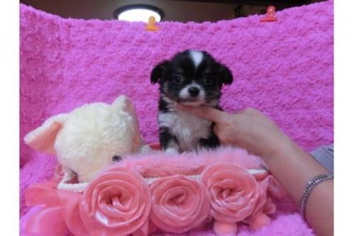 チワワ(ロング)の子犬(ID:1268411026)の1枚目の写真/更新日:2017-04-24