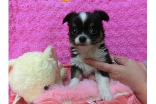 チワワ(ロング)の子犬(ID:1268411026)の2枚目の写真/更新日:2017-04-24