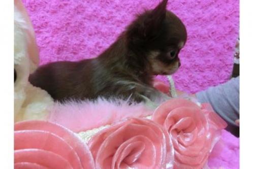 チワワ(ロング)の子犬(ID:1268411033)の2枚目の写真/更新日:2018-07-31