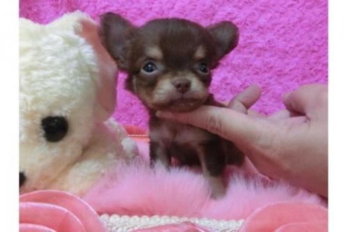 チワワ(ロング)の子犬(ID:1268411035)の1枚目の写真/更新日:2018-07-31