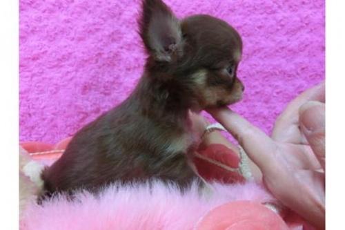 チワワ(ロング)の子犬(ID:1268411035)の2枚目の写真/更新日:2018-07-31