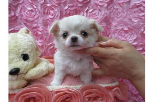 チワワ(ロング)の子犬(ID:1268411036)の1枚目の写真/更新日:2019-02-02