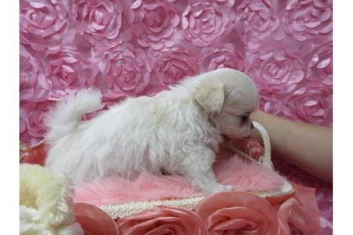 チワワ(ロング)の子犬(ID:1268411036)の3枚目の写真/更新日:2019-07-19
