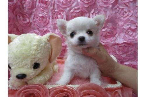 チワワ(ロング)の子犬(ID:1268411037)の1枚目の写真/更新日:2019-07-19