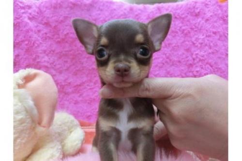 チワワ(スムース)の子犬(ID:1268411038)の1枚目の写真/更新日:2018-07-11