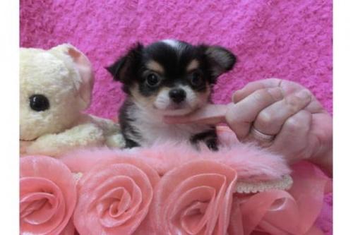 チワワ(ロング)の子犬(ID:1268411039)の1枚目の写真/更新日:2018-06-12