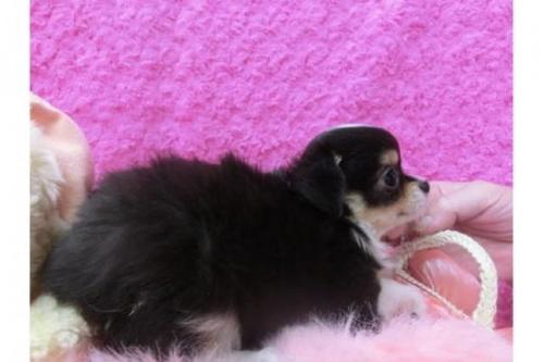 チワワ(ロング)の子犬(ID:1268411039)の2枚目の写真/更新日:2018-06-12