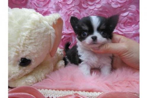チワワ(ロング)の子犬(ID:1268411041)の1枚目の写真/更新日:2017-10-02