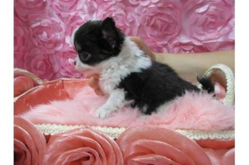 チワワ(ロング)の子犬(ID:1268411041)の2枚目の写真/更新日:2019-07-19