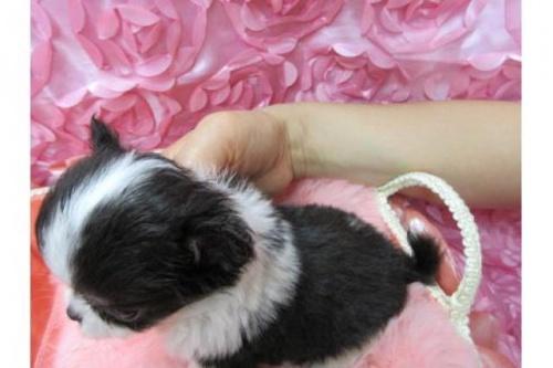 チワワ(ロング)の子犬(ID:1268411041)の3枚目の写真/更新日:2017-10-02
