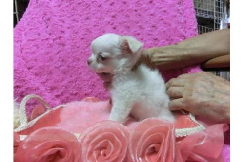 チワワ(ロング)の子犬(ID:1268411044)の2枚目の写真/更新日:2018-11-26