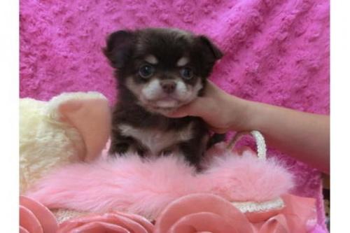 チワワ(ロング)の子犬(ID:1268411045)の1枚目の写真/更新日:2018-11-26