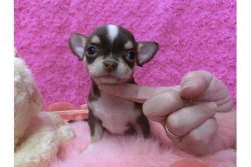 チワワ(スムース)の子犬(ID:1268411046)の1枚目の写真/更新日:2017-11-27
