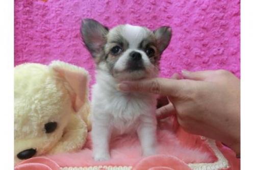 チワワ(ロング)の子犬(ID:1268411047)の1枚目の写真/更新日:2018-11-26