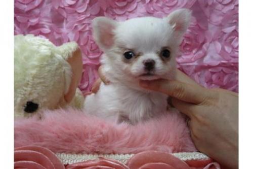チワワ(ロング)の子犬(ID:1268411049)の1枚目の写真/更新日:2019-07-19
