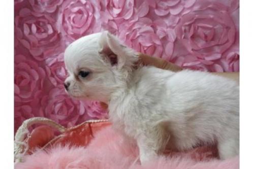 チワワ(ロング)の子犬(ID:1268411049)の2枚目の写真/更新日:2019-07-19