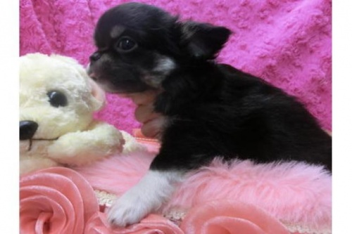 チワワ(ロング)の子犬(ID:1268411050)の2枚目の写真/更新日:2017-12-01