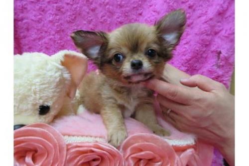チワワ(ロング)の子犬(ID:1268411052)の1枚目の写真/更新日:2017-12-01