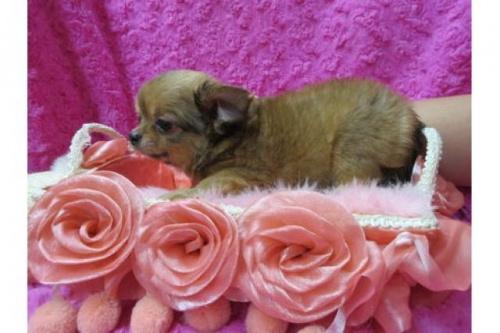 チワワ(ロング)の子犬(ID:1268411052)の2枚目の写真/更新日:2017-12-01