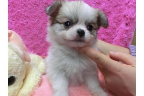 チワワ(ロング)の子犬(ID:1268411055)の1枚目の写真/更新日:2017-12-01