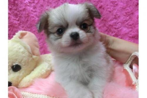 チワワ(ロング)の子犬(ID:1268411055)の2枚目の写真/更新日:2017-12-01