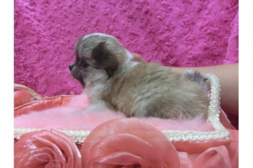 チワワ(スムース)の子犬(ID:1268411057)の2枚目の写真/更新日:2017-12-01