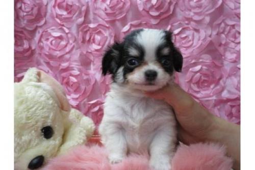 チワワ(ロング)の子犬(ID:1268411060)の1枚目の写真/更新日:2018-02-05