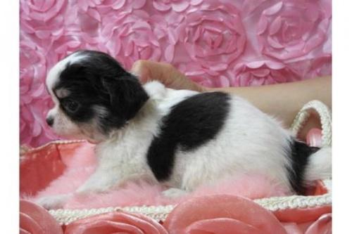 チワワ(ロング)の子犬(ID:1268411060)の2枚目の写真/更新日:2018-02-05
