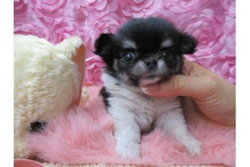 チワワ(ロング)の子犬(ID:1268411061)の1枚目の写真/更新日:2018-02-05