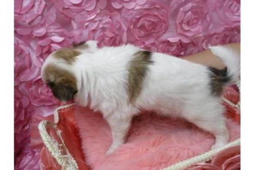 チワワ(ロング)の子犬(ID:1268411063)の2枚目の写真/更新日:2018-02-05