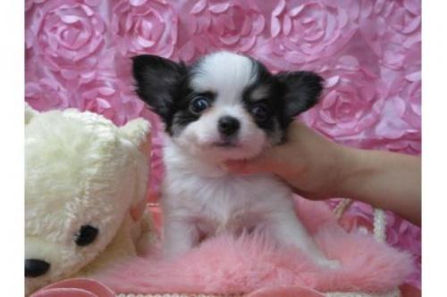 チワワ(ロング)の子犬(ID:1268411064)の1枚目の写真/更新日:2018-02-05