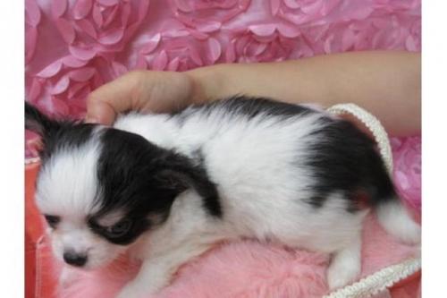チワワ(ロング)の子犬(ID:1268411064)の2枚目の写真/更新日:2018-02-05