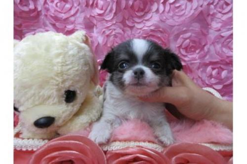 チワワ(ロング)の子犬(ID:1268411065)の1枚目の写真/更新日:2018-02-05