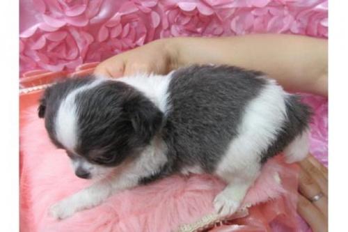 チワワ(ロング)の子犬(ID:1268411065)の2枚目の写真/更新日:2018-02-05