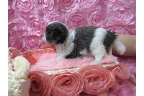 チワワ(ロング)の子犬(ID:1268411065)の3枚目の写真/更新日:2018-02-05
