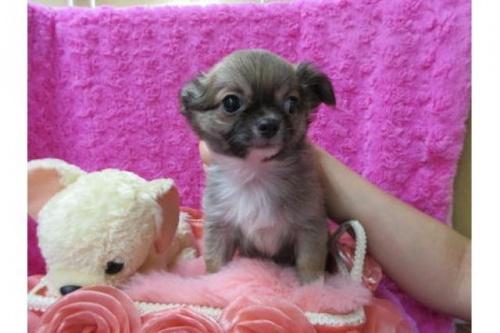チワワ(ロング)の子犬(ID:1268411067)の1枚目の写真/更新日:2019-09-15