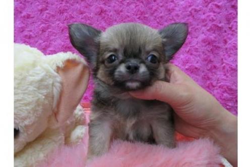 チワワ(ロング)の子犬(ID:1268411068)の1枚目の写真/更新日:2019-08-22