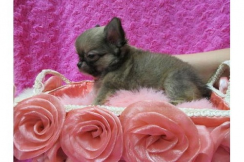 チワワ(ロング)の子犬(ID:1268411068)の2枚目の写真/更新日:2019-08-22