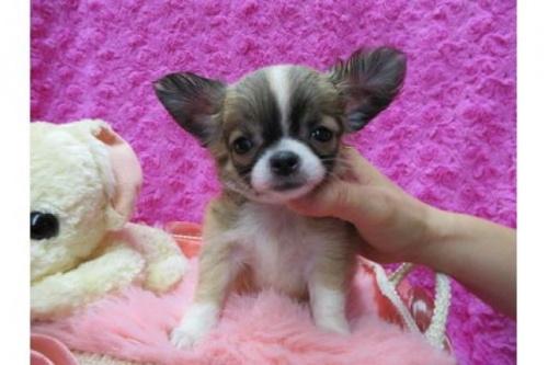 チワワ(ロング)の子犬(ID:1268411069)の1枚目の写真/更新日:2019-08-22