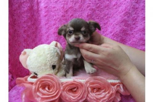 チワワ(ロング)の子犬(ID:1268411071)の1枚目の写真/更新日:2019-11-04