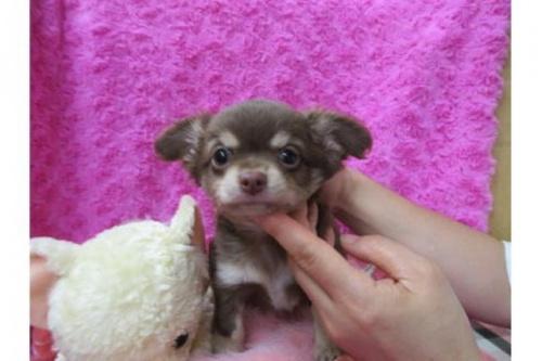 チワワ(ロング)の子犬(ID:1268411072)の1枚目の写真/更新日:2019-11-04