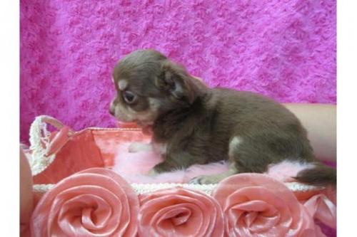 チワワ(ロング)の子犬(ID:1268411072)の2枚目の写真/更新日:2019-11-04