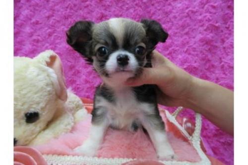 チワワ(ロング)の子犬(ID:1268411073)の1枚目の写真/更新日:2019-08-22