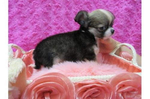 チワワ(ロング)の子犬(ID:1268411073)の3枚目の写真/更新日:2019-08-22