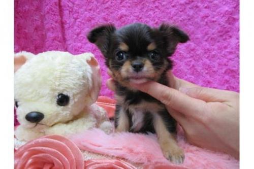 チワワ(ロング)の子犬(ID:1268411075)の1枚目の写真/更新日:2019-11-04