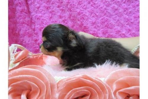 チワワ(ロング)の子犬(ID:1268411075)の2枚目の写真/更新日:2019-11-04