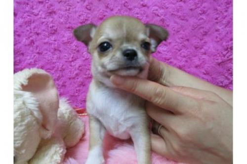 チワワ(スムース)の子犬(ID:1268411076)の1枚目の写真/更新日:2019-09-15