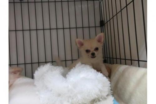 チワワ(スムース)の子犬(ID:1268411077)の1枚目の写真/更新日:2018-05-13