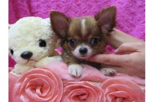 チワワ(ロング)の子犬(ID:1268411078)の1枚目の写真/更新日:2019-11-04